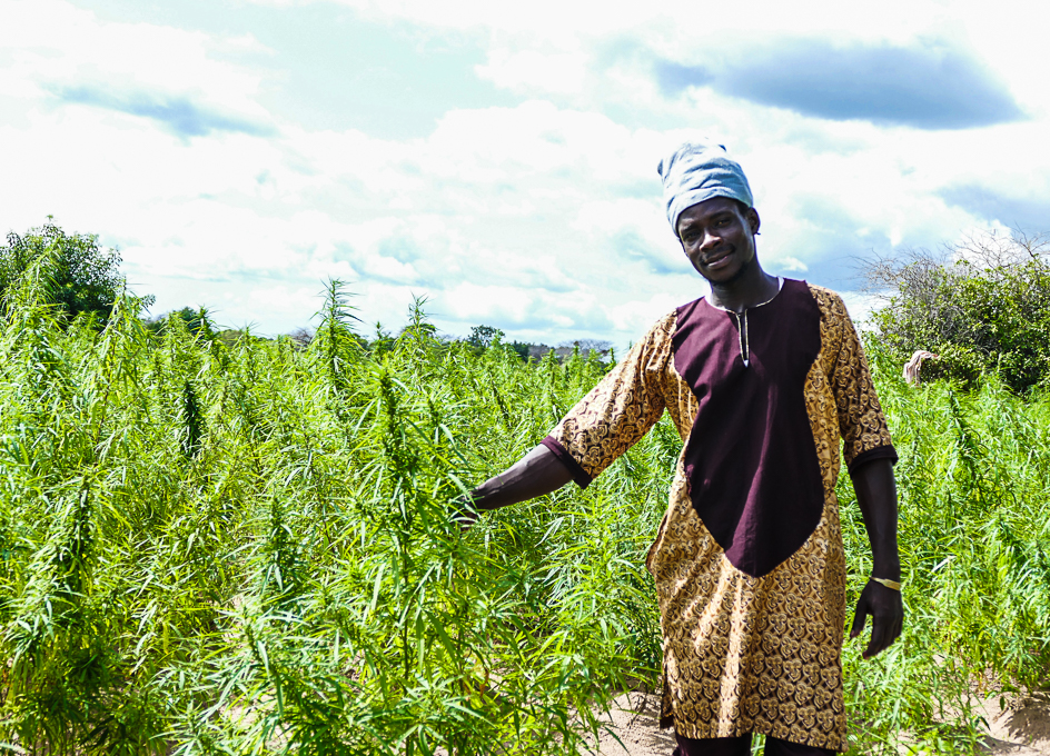 Marijuana plantation in Gambia